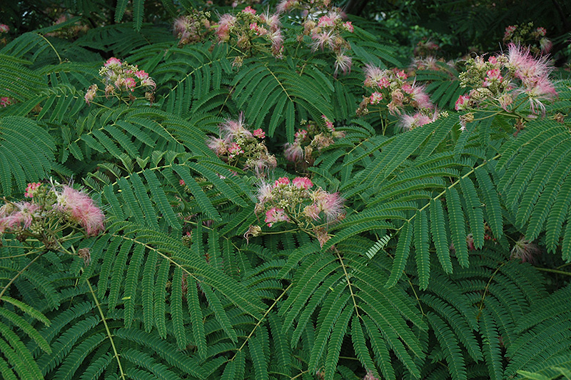 Well known Mimosa (Albizia julibrissin) in Salt Lake City Provo Sandy West  DU31