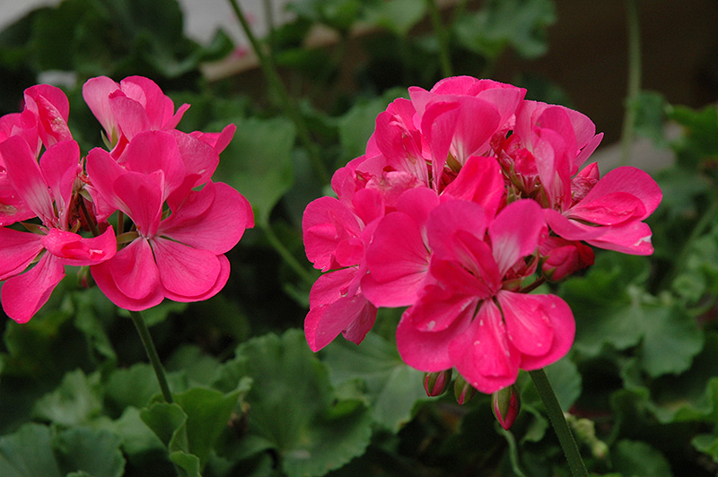 Summer idols hot pink geranium pelargonium summer idols hot pink summer idols hot pink geranium pelargonium summer idols hot pink at wasatch mightylinksfo