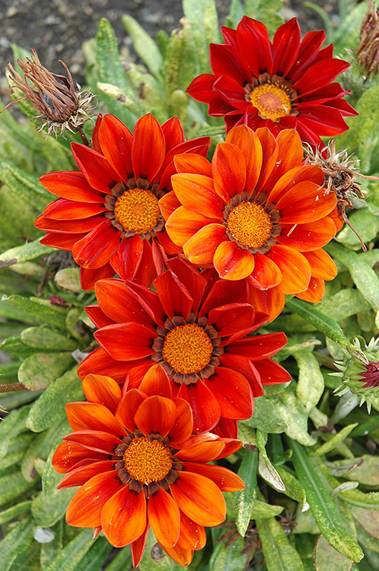 New Day Clear Red Shades Gazania New Day Red Shades In