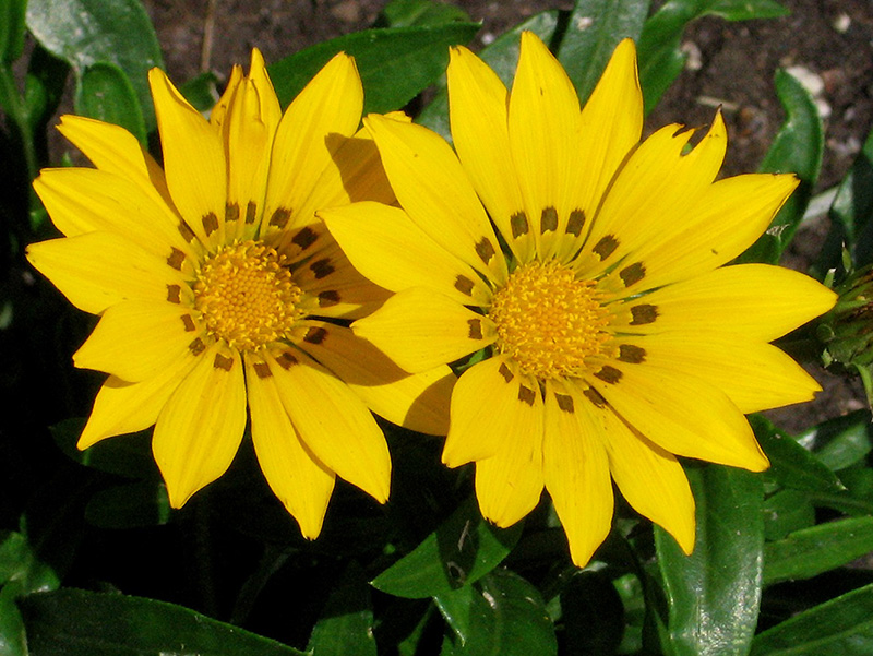 Daybreak bright yellow gazania gazania daybreak bright yellow in daybreak bright yellow gazania gazania daybreak bright yellow at wasatch shadows nursery mightylinksfo