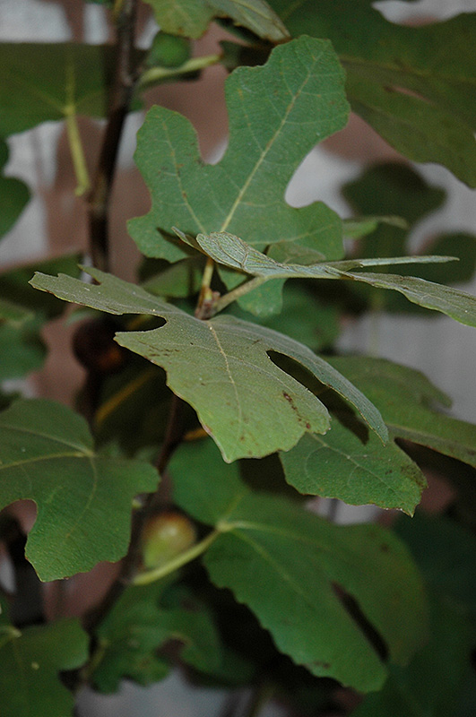 Chicago Hardy Fig Ficus Carica Chicago Hardy In Salt
