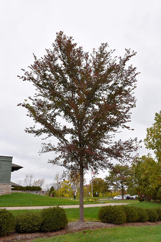 Planting Under Elm Trees : Click to view full size photo of frontier elm ulmus at