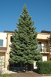 White Fir (Abies concolor) at Wasatch Shadows Nursery